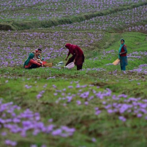 "Women collecting saffron in Pampore, known as Kashmir's ""Saffron Town""."