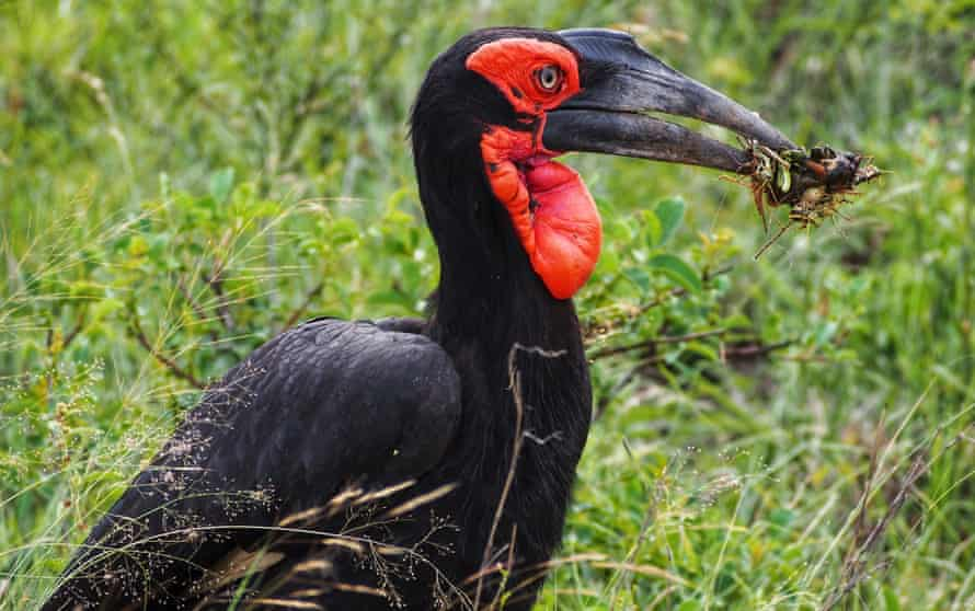 A southern terrestrial hornbill photographed in South Africa's Kruger National Park in February 2015.