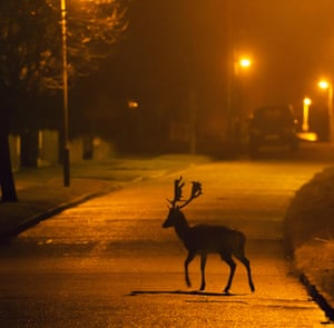 A fallow deer buck crossing the road under street lights in London during the spring lockdown.