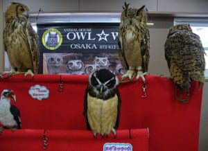 Owls on show at an exhibition in Japan.