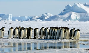 Emperor penguins at the Weddell Sea, Antarctic