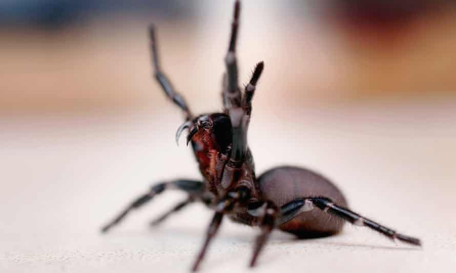 The funnel web spider.