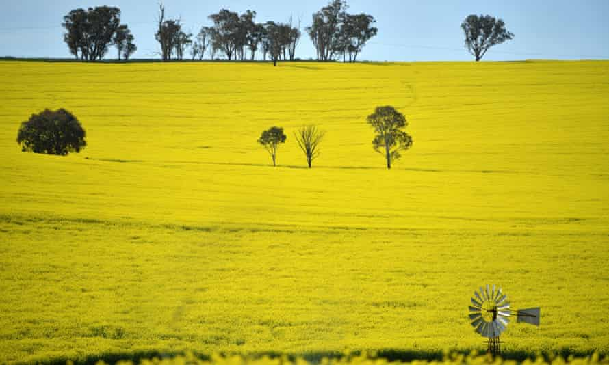 Field of canola in NSW