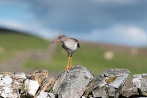 A common redshank in the Yorkshire Dales, UK