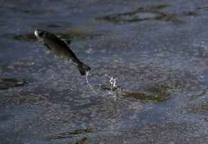 A young fingerling Chinook salmon leaps out of the water after being released into a holding pen in Half Moon Bay, California