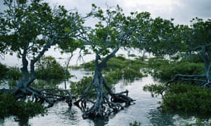 Mangroves at high tide on the western side of Curtis Island on the Queensland coast=
