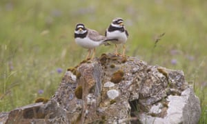 The recent decline of ringed plovers is thought to be a result of lower breeding success and the abandonment of nest sites in coastal areas that are popular with holidaymakers