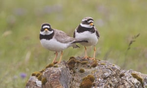 An adult pair of ringed plovers (Charadrius hiaticula) photographed in the Shetlands.