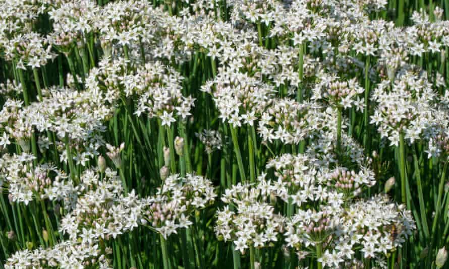 Garlic chives in flower