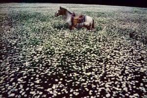 Lucky Spot in Daisy Field, Sussex, 1985.
