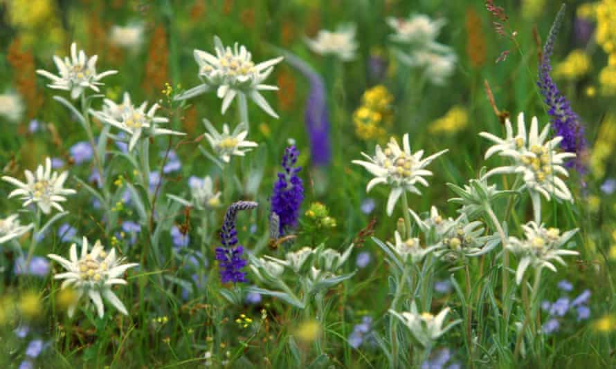 Edelweiss and other wild flowers on the Mongolian steppe