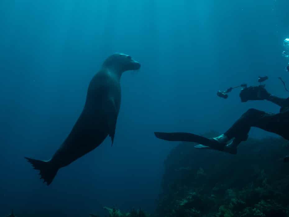 A curious Australian sea lion