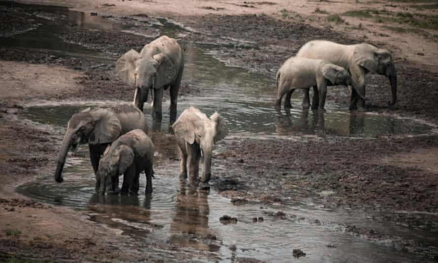 Forest elephants play in the salt marshes of the Dzanga Sangha reserve