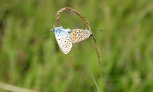 Mating male (top) and female silver-studded blue butterflies, Iping Common, West Sussex