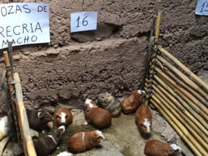 Guinea pigs bred for the table in Peru