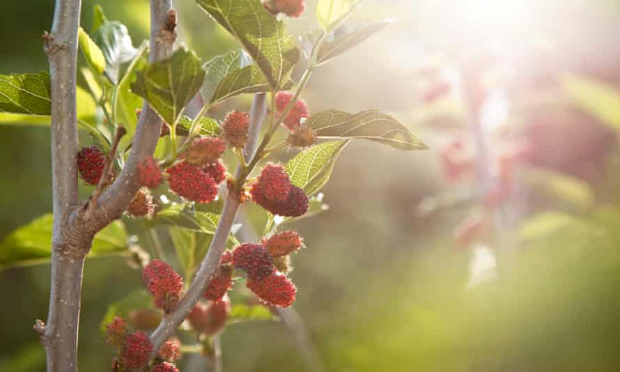 A miniature mulberry tree can be planted as a bare root at this time of year.