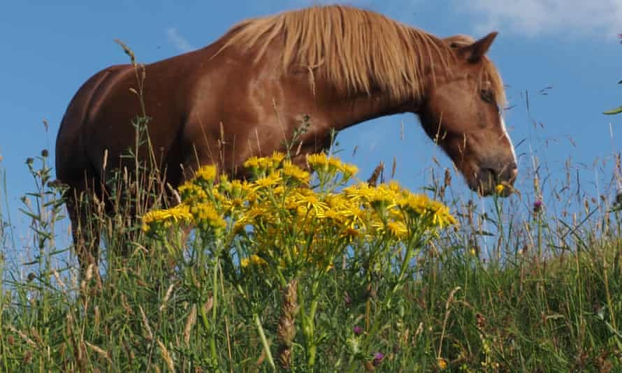 Horse grazing among ragwort, near Buxton, Derbyshire.