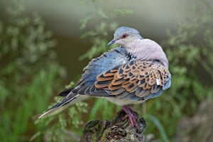 Turtle doves have declined by more than 90% since 1970.