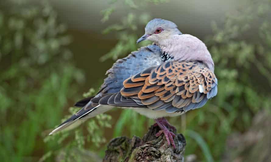 A preening turtle dove.