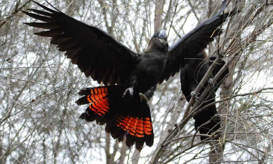 A pair of glossy black cockatoos on Kangaroo Island.