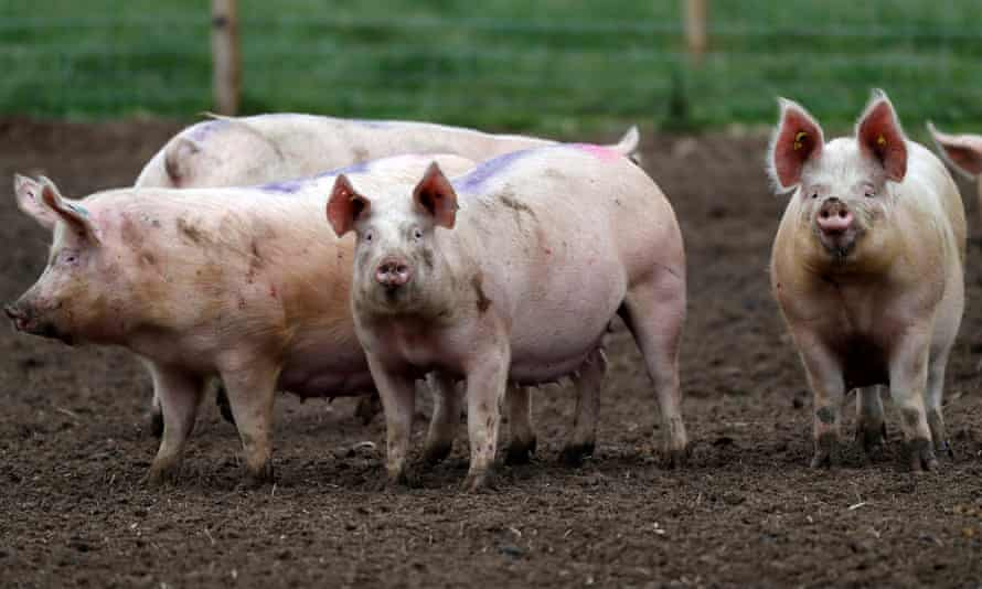 Pigs stand in a field