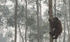 Orangutan climbing a tree shrouded in smoke from Indonesia's forest fires