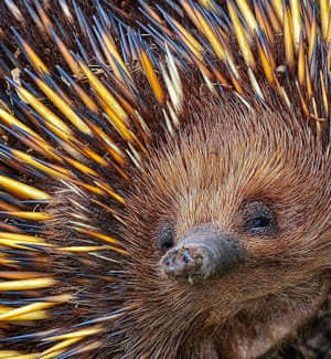 An echidna foraging for ants