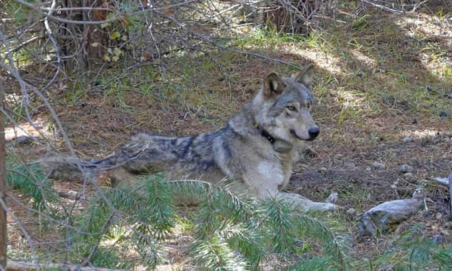 OR-54, the Oregon wolf who crossed into California to find a mate. OR-54's journey took her further south in California than any other wolf since 1924.