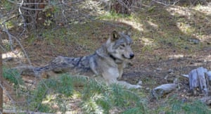 A grey wolf known as OR-54 who left home in Oregon in search of a mate. Scientists tracked her until she was found in Shasta County, California. It's not clear yet whether she died by accident, naturally or was deliberately and illegally killed.