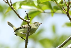 The tyrannulet Zimmerius chicomendesi pays a well-deserved tribute to the Brazilian rubber tapper and environmentalist Francisco Alves Mendes Filho, better known as Chico Mendes. It inhabits grassland areas and flat, sandy, poorly drained shrublands, or steep grasslands with well-drained stony soil. Although it is primarily a frugivore, it can feed on insects, depending on the time of the year.
