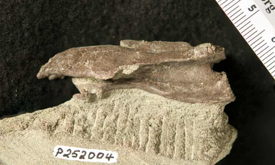 The unusual vertebra for the dinosaur is much longer than it is wide, a common shape seen in the necks of elaphrosaurs.