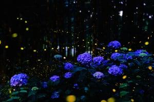 Firefly lights around hydrangea blooms