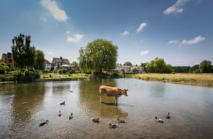Suffolk, UK: Cattle and ducks keeping cool in the River Stour in Suffolk
