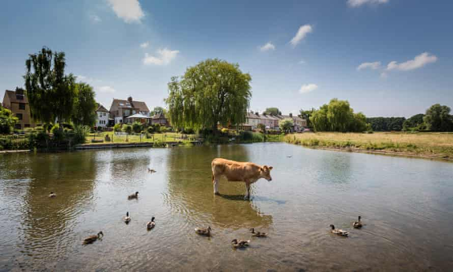 Cattle and ducks keep cool in the River Stour, Suffolk
