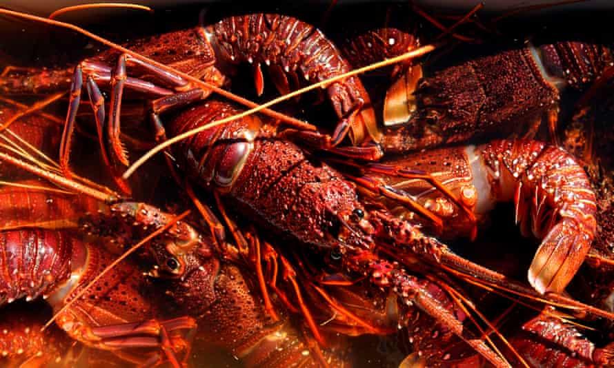 Western Rock Lobster<br>Australia, Western Australia, Dongara, Western Rock Lobster. (Photo by: Eye Ubiquitous/Universal Images Group via Getty Images)