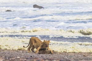 A lioness feeds on a seal in Namibia's Skeleton Coast