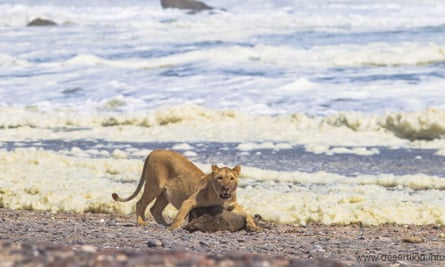 A lioness feeds on a Cape fur seal in Namibia's Skeleton Coast