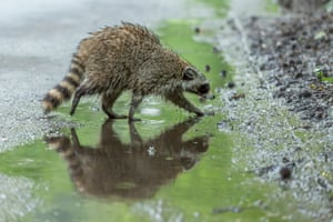 A raccoon navigates a puddle in Central Park in New York City