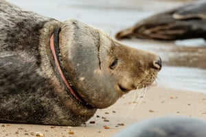 A seal with a ring of plastic around its neck