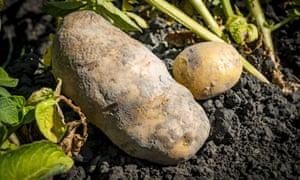 A regular sized potato and a smaller potato