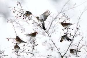 Finalist: Berries for the fieldfares. A harsh winter in the heart of the Massif du Bugey, eastern France. Driven by the cold, a group of fieldfares gather in a shrub, squabbling over its life-saving berries
