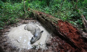 There are now fewer than 100 Sumatran rhinos left in the wild and the species is close to extinction.