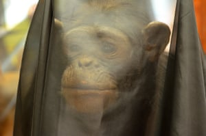 A chimpanzee exhibit at Bristol Museum is shrouded in black.