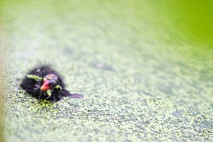Xingtai, China: A moorhen chick swims in a pond
