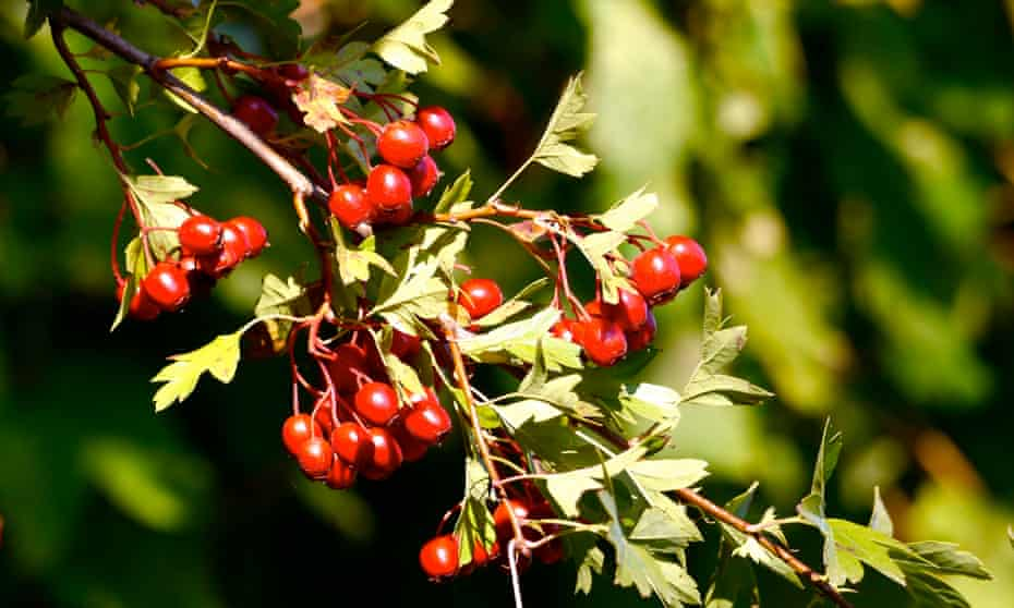 The hawthorn's fruit provides autumn food for many insects and birds.