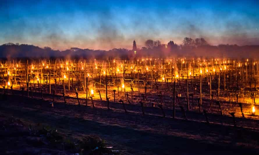 Bougies (candles) lit to protect emerging buds at Ridgeview wine estate in Ditchling, Sussex from the frost.