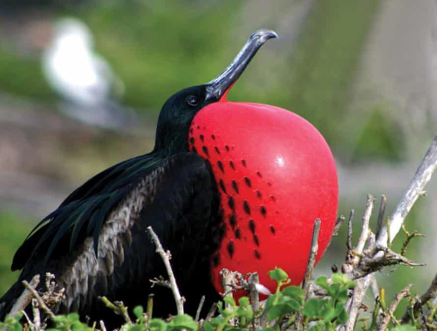 A frigate bird at the frigate bird sanctuary in Barbuda.