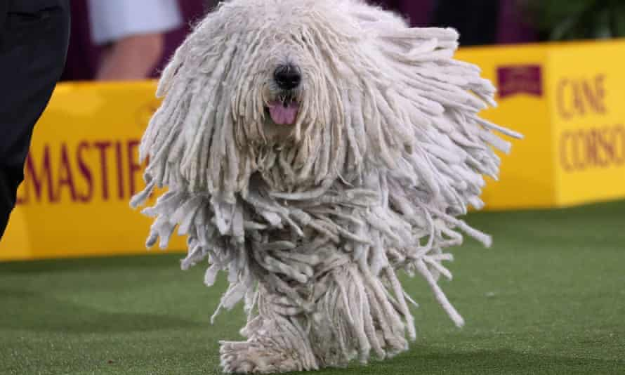 Attison, a komondorok dog, competes in the Working Group judging at the 145th Westminster Kennel Club Dog Show.