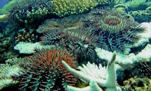 An underwater drone has been trained to detect crown-of-thorns starfish with 99% accuracy, and to kill them.