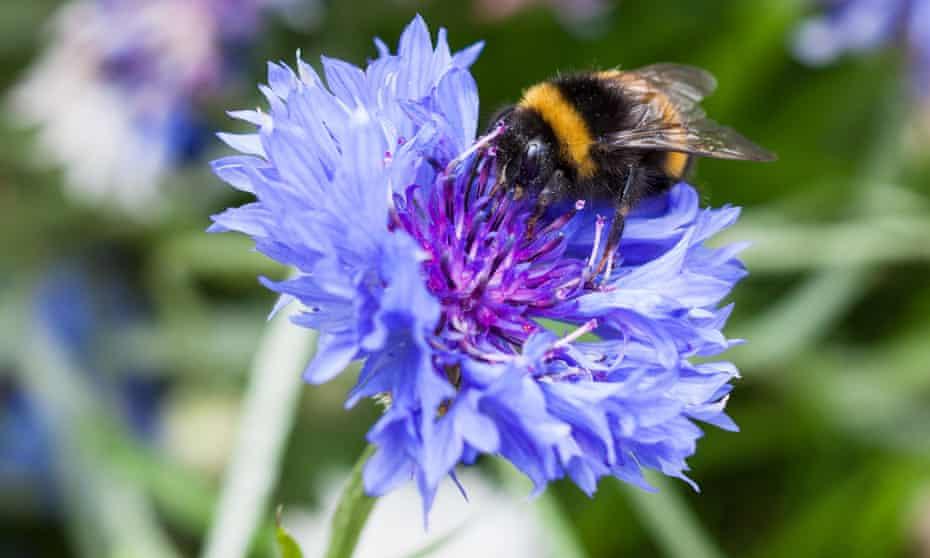 Bee gathering nectar from cornflower
